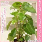 生花 デンドロビウム(グリーンアイ) 多数株立ち 3号陶器鉢 クリスマスピック付 数量限定4個