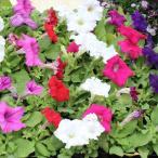 花の苗 ペチュニア 3号ポット 色はピンク・赤・紫・白のどちらかになります。