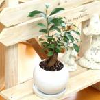 観葉植物(生花) ガジュマル 陶器鉢(鉢皿付) 高さ23cm〜幅28cm