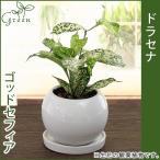 ドラセナスルクロサ ゴッドセフィアナ 陶器鉢(鉢皿付) 高さ20cm〜25cm 観葉植物(生花)