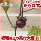 賀茂なす(カモナス)苗  収穫が楽しみな実付苗 4号ポット