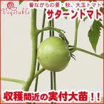 野菜の苗 大玉トマト サターン苗 3号ポット