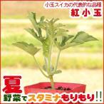 野菜の苗 小玉スイカ苗 「紅小玉」 3号ポット