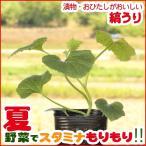 野菜の苗 縞うり苗  3号ポット