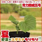 野菜の苗 節成きゅうり苗 「青力節成五号」 3号ポット
