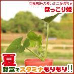 野菜の苗 ミニかぼちゃ苗 「ほっこり姫」 3号ポット