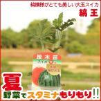 野菜の苗 大玉スイカ苗 「縞王」 3号ポット