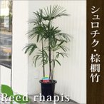 シュロチク・棕櫚竹 高さ140cm〜160cm 8〜10号プラ鉢 観葉植物 生花