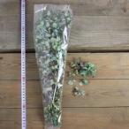 即日  ドライ アジサイ  20g FD000813 00   ドライフラワー花材 あじさい 紫陽花