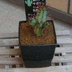 ユーフォルビア 紅彩閣 観葉植物 多肉植物 3.0号 約14.5cm 送料無料 希少種 お祝い インテリア
