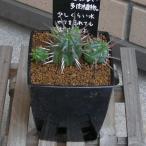 ユーフォルビア フェロックス 観葉植物 多肉植物 3.0号 約11cm 送料無料 希少種 お祝い インテリア