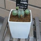ユーフォルビアオベサブロウ 観葉植物 多肉植物 3.0号 約10cm 送料無料 希少種 お祝い インテリア