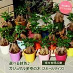 ガジュマルの木 観葉植物 ガジュマル 多幸の木 3.5号 スモール 約25cm 送料無料 選べる鉢色 9色 グリーン お祝い インテリア