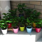 コーヒーの木 観葉植物 3.5号 陶器鉢 約22cm 送料無料 選べる鉢色 7色 グリーン お祝い インテリア おしゃれ