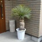 ユッカ・ロストラータ 観葉植物 10号 プラ鉢 ドナセラ 約115cm 希少種 室内 お祝い インテリア おしゃれ 送料無料