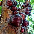 大苗【ジャボチカバ】  3年生接木苗 ポット苗  熱帯果樹 観葉植物 四季成り性 実成の早い接木苗