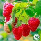 ラズベリー スタンザ【二季なり】  果樹苗木 果樹苗 キイチゴ 苗