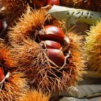 【丹沢】(たんざわ) 栗の木 1年生 接ぎ木 苗 家庭で楽しむ果樹苗木 果樹苗 栗