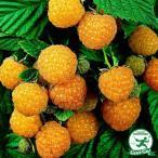 イエロー ラズベリー 苗 ファールゴールド 【二季なり性】  果樹苗木 果樹苗 黄色いラズベリー キイチゴ