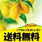 ◆送料無料◆ 寒さに強いレモン 苗木 【トゲなし リスボンレモン】  1年生 接ぎ木 スリット鉢植え 2年間植え替え不要  レモンの木 苗