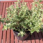 斑入りハクチョウゲ 苗 5号 ポット苗  庭木 常緑樹 グランドカバー 低木
