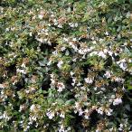 アベリア グランドフローラ  5号ポット苗 グランディフローラ 生垣 目隠し グランドカバー 低木 庭木 常緑樹