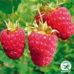 ラズベリー インディアンサマー【二季成り】 果樹苗木 果樹苗 キイチゴ