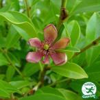 カラタネオガタマ ポートワイン 赤花 5号ポット苗 庭木 常緑樹 低木