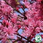 菊桃(きくもも) 花梅 樹高0.9m 接ぎ木苗 庭木 落葉樹 シンボルツリー