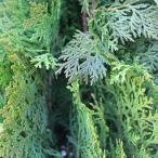 コニファー 【 オウゴンコノテヒバ 根巻き苗 】 苗 庭木 常緑樹 低木 生け垣 コノテガシワ