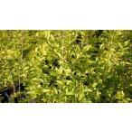 プリペット オーレア 苗 5号 ポット苗  庭木 常緑樹 グランドカバー 低木 目隠し 刈り込み