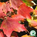 アメリカハナノキ  レッドサンセット 0.9mポット苗  苗木 庭木 落葉樹 シンボルツリー 紅葉 もみじ 楓 カエデ