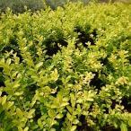 ゴールデンジェム イヌツゲ 5号ポット 苗 グランドカバー 庭木 常緑樹 低木 生け垣