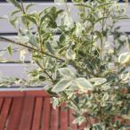 シルバープリペット 苗 5号 ポット苗  庭木 常緑樹 グランドカバー 低木 目隠し 刈り込み