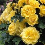バラ苗 【ゴールデンシャワーズ (CL) つるバラ 四季咲き】  2年生接木大苗 スリット 鉢植え  2年間植え替え不要  アーチ向け 薔薇 ローズ