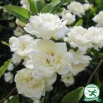 バラ苗 【モッコウバラ 白花(CL) つるバラ 一季咲き】  プラスチック鉢植え アーチ向け 薔薇 ローズ