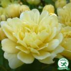 ◆予約販売(11月〜翌年1月発送)◆ バラ苗 【モッコウバラ 黄花(CL) つるバラ 一季咲き】  プラスチック鉢植え アーチ向け 薔薇 ローズ