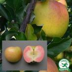 りんご 苗木 【YD(矮性台木) ローズパール】 1年生 接ぎ木 ポット苗
