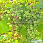 ぶどう 苗木 【白ワイン用品種 モンドブリエ】 1年生 ウイルスフリー 接ぎ木 ポット苗