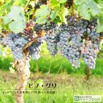 ぶどう 苗木 【白ワイン用品種 ピノグリ】 3年生 ウイルスフリー 接ぎ木 ポット苗