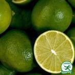 ◆送料無料◆ 種なしライム 苗 【フレーバーグリーン】 2年生 接ぎ木苗 ※北海道・沖縄は送料無料適用外です。