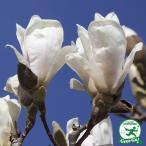 モクレン マグノリア 苗 【スノーホワイト 白花】 1.5m根巻き大苗 【時間帯指定不可】