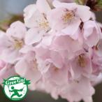 桜 苗木 【高遠の小彼岸桜】 1年生 接ぎ木苗