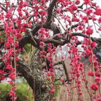 花梅 苗 【赤花 しだれ梅】 3年生 約1.7m 根巻き苗