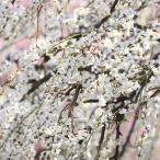 ◆送料無料◆ 花梅 苗 【白花 しだれ梅】 1年生 約0.7m ポット苗 (ニーム小袋付き) ※北海道・沖縄は送料無料適用外です。