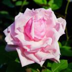 バラ 苗 【つるバラ ラ フランス (CL) 大輪 一季咲き】 3年生 接ぎ木特大苗 (長尺苗)