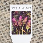 ラベンダー ハーブ 苗 【キャンディーキャンズ (デンタータ系)】 3号ポット苗