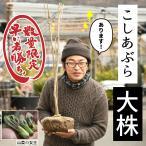 コシアブラ 苗 【山菜 コシアブラ】 約1.0m 根巻き苗(大株)