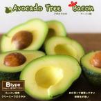 熱帯果樹 森のバター アボカドの木 ベーコン 接木苗 果樹苗 果樹 常緑樹