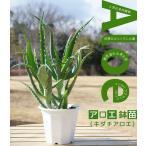 多肉植物 観葉植物 アロエ ( キダチアロエ ) 鉢苗 インテリアプランツ